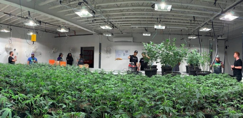 commercial cannabis grow operation
